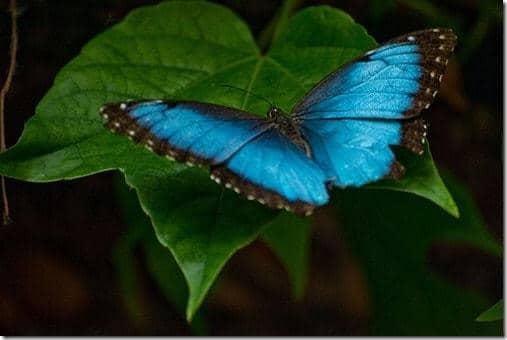Papillon bleu Morpho Peleides forêt amazonienne