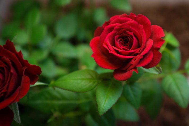 jolie rose rouge : comment donner du sens à sa vie?